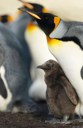 Close up of a King penguin chick standing by his parent, Falkland Islands.