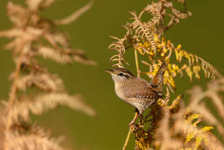 Close up of a wren perched on a fern in autumn, UK.