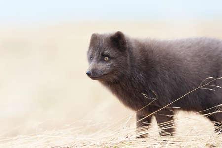 Close up of a blue morph Arctic fox (Vulpes lagopus) in Iceland. 版權商用圖片