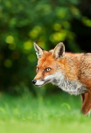 Close up of a Red fox (Vulpes vulpes) in grass against dark background, England, UK.