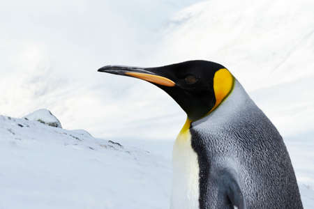 Close up of a King Penguin against white mountains in winter. 版權商用圖片