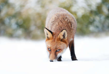 Close-up of a Red fox in snow, winter in UK.