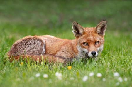 Close up of a red fox (Vulpes vulpes) lying in meadow, United Kingdom.