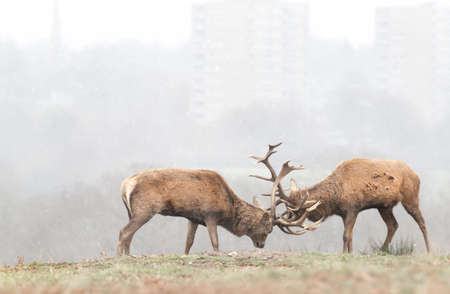 Red deer stags fighting during the first snow in winter. Wildlife in urban surrounding, UK.