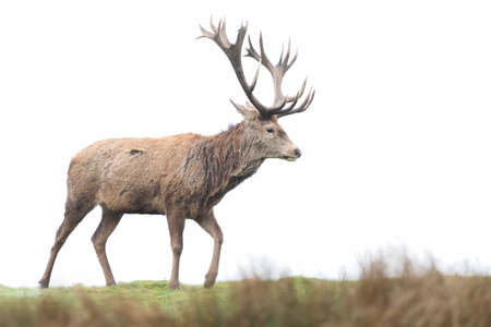 Close-up of a red deer stag against clear background, UK.