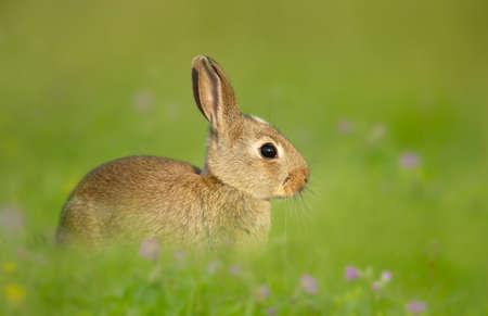 Portrait of a cute little rabbit sitting in meadow, UK.
