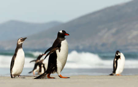 Gentoo and Magellanic penguins on a sandy beach in the Falkland Islands.