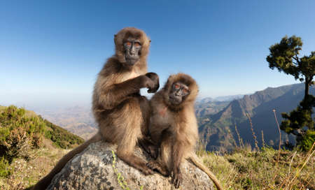 Close up of two Gelada monkeys sitting on a rock in Simien mountains, Ethiopia. 版權商用圖片