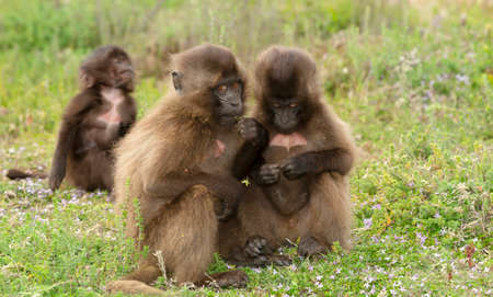 Close up of cute baby Gelada monkeys sitting on the ground, Simien mountains, Ethiopia.