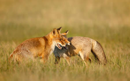 Close up of two playful Red fox cubs (Vulpes vulpes) in the field of grass. 版權商用圖片