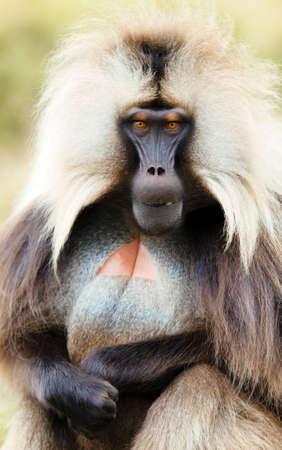 Close up of a male Gelada monkey (Theropithecus gelada), Simien mountains national park, Ethiopia.