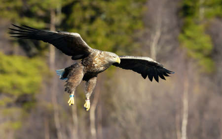 Close up of a White-tailed sea Eagle (Haliaeetus albicilla) in flight, Norway.