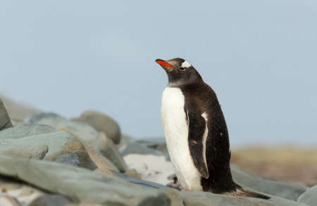 Gentoo penguin standing on stones on a coastal area of the Falkland Islands. 版權商用圖片