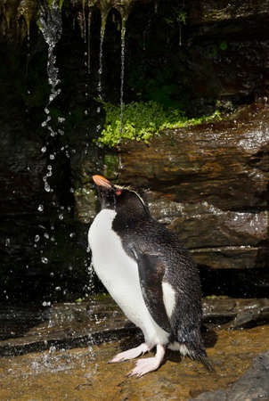 Close up of a Southern rockhopper penguin taking shower under a stream of water, Falkland Islands.