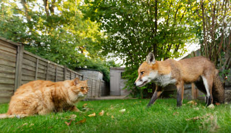 Close up of a cat and red fox in the garden, UK.