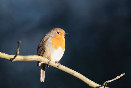 Close up of a European Robin (Erithacus rubecula) perched on a tree branch against dark blue background, UK.