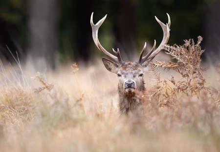 Portrait of a red deer stag in ferns in autumn, UK. 版權商用圖片