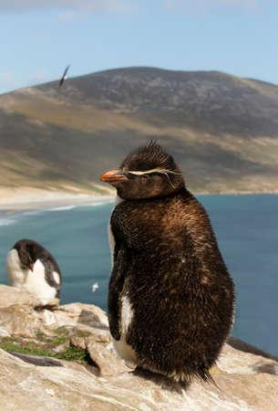 Close up of a Southern rockhopper penguin (Eudyptes chrysocome) in Saunders, Falkland Islands.