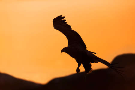 Silhouette of a White-tailed eagle (Haliaeetus albicilla) in flight at sunset, Norway.