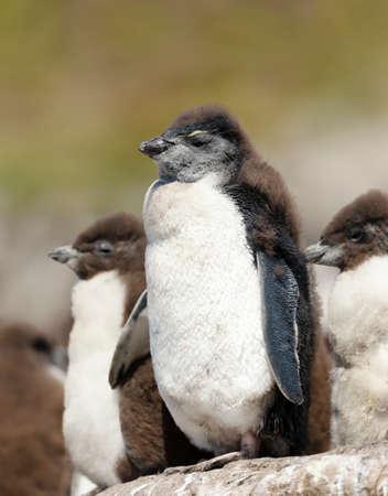 Close up of moulting Rockhopper penguin chicks on a rock, Falkland Islands.