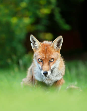 Close up of a Red fox (Vulpes vulpes) sitting in grass against dark background, England, UK.