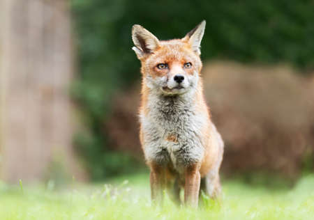 Close up of a Red fox (Vulpes vulpes) in grass, England, UK.