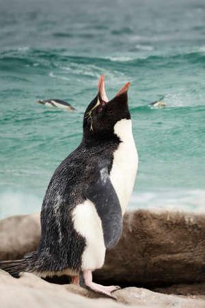 Close up of a Sothern rockhopper penguin (Eudyptes chrysocome) calling, Falkland Islands.
