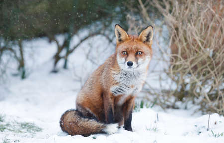Close-up of a Red fox sitting in snow, winter in UK.