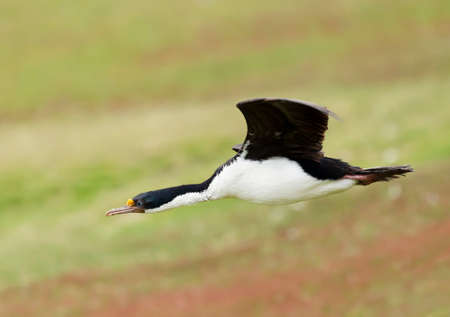 Close-up of an Imperial shag (Leucocarbo atriceps) in flight against bright yellow background, Falkland Islands. 版權商用圖片