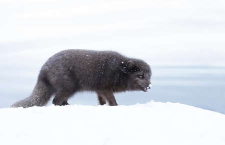 Close up of an Arctic fox walking on the coasts of Iceland.