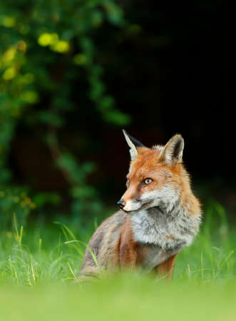 Close up of a Red fox (Vulpes vulpes) sitting in grass, England, UK.
