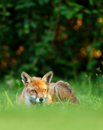 Close up of a Red fox (Vulpes vulpes) lying on grass, England, UK.