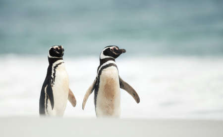 Close up of two Magellanic penguins standing on a sandy beach in the Falkland Islands.