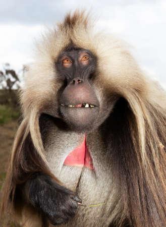 Impressive portrait of a rare Gelada monkey (Theropithecus gelada) in Simien mountains, Ethiopia. 版權商用圖片