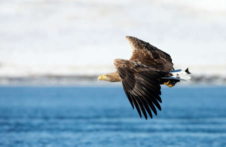 Close up of a White-tailed eagle in flight, winter in Norway.