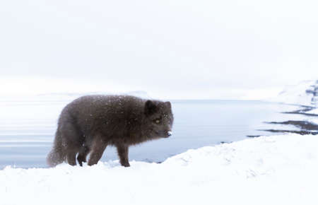 Close up of an Arctic fox in winter on the coasts of Iceland. 版權商用圖片