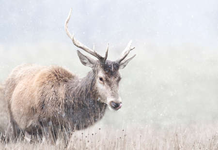 Close up of a Red deer stag in first snow in winter, UK. 版權商用圖片