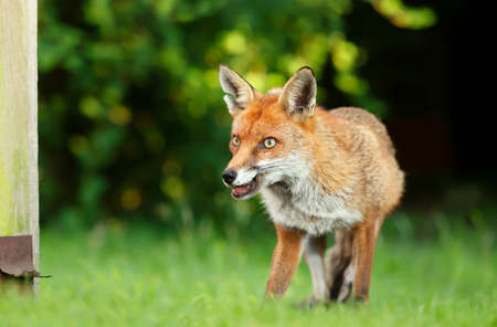 Close up of a Red fox (Vulpes vulpes) standing in grass by a fence, England, UK.