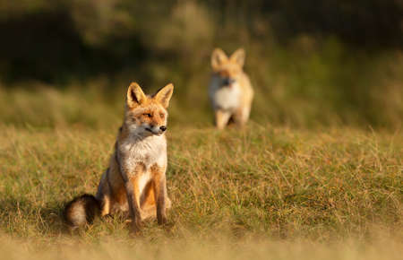 Red fox (vulpes vulpes) sitting in grass in the golden light.