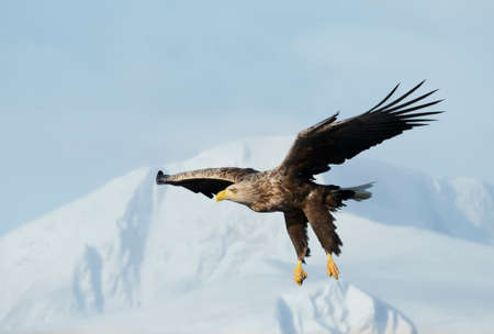 Close up of a White-tailed sea Eagle (Haliaeetus albicilla) in flight, winter in Norway.