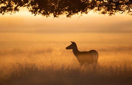 Red deer hind at sunrise in summer, United Kingdom.