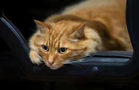 Close up of a ginger cat lying on a black leather chair, UK.