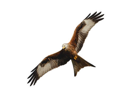 Close up of a Red kite in flight against clear white background, UK. Foto de archivo