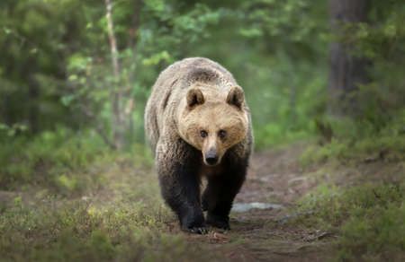 Close up of an Eurasian Brown bear in forest, Finland.