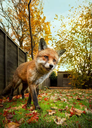 Close-up of a Red fox standing in autumn leaves in a garden, UK.