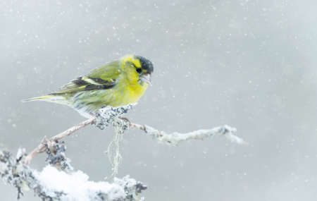 Eurasian siskin (Spinus spinus) perched on a branch in the falling snow, winter in Norway.