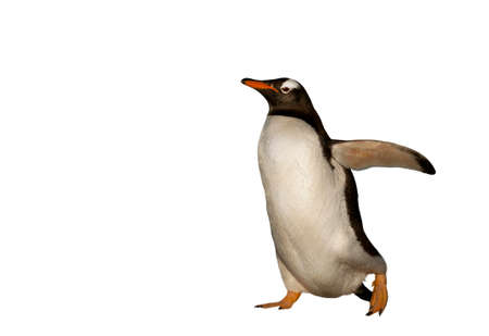 Close-up of a Gentoo penguin on a clear white background.