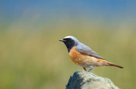 Close up of a Common Redstart perched on a rock against green background, UK. Foto de archivo