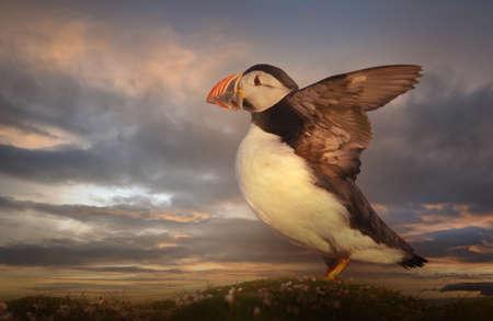 Close up of Atlantic puffin on a coastal area of Scotland, UK.