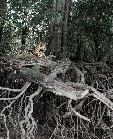Close up of a Jaguar lying on impressive tree roots on a river bank, Pantanal, Brazil. Foto de archivo